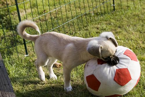 Lill-hunden